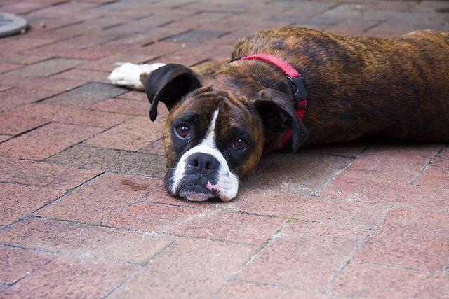 Brindle Boxer Sunbathing On The Bricks Brindle Boxer Boxer Dogs Boxer Love