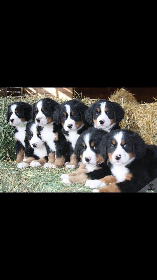 So many puppies i want them all