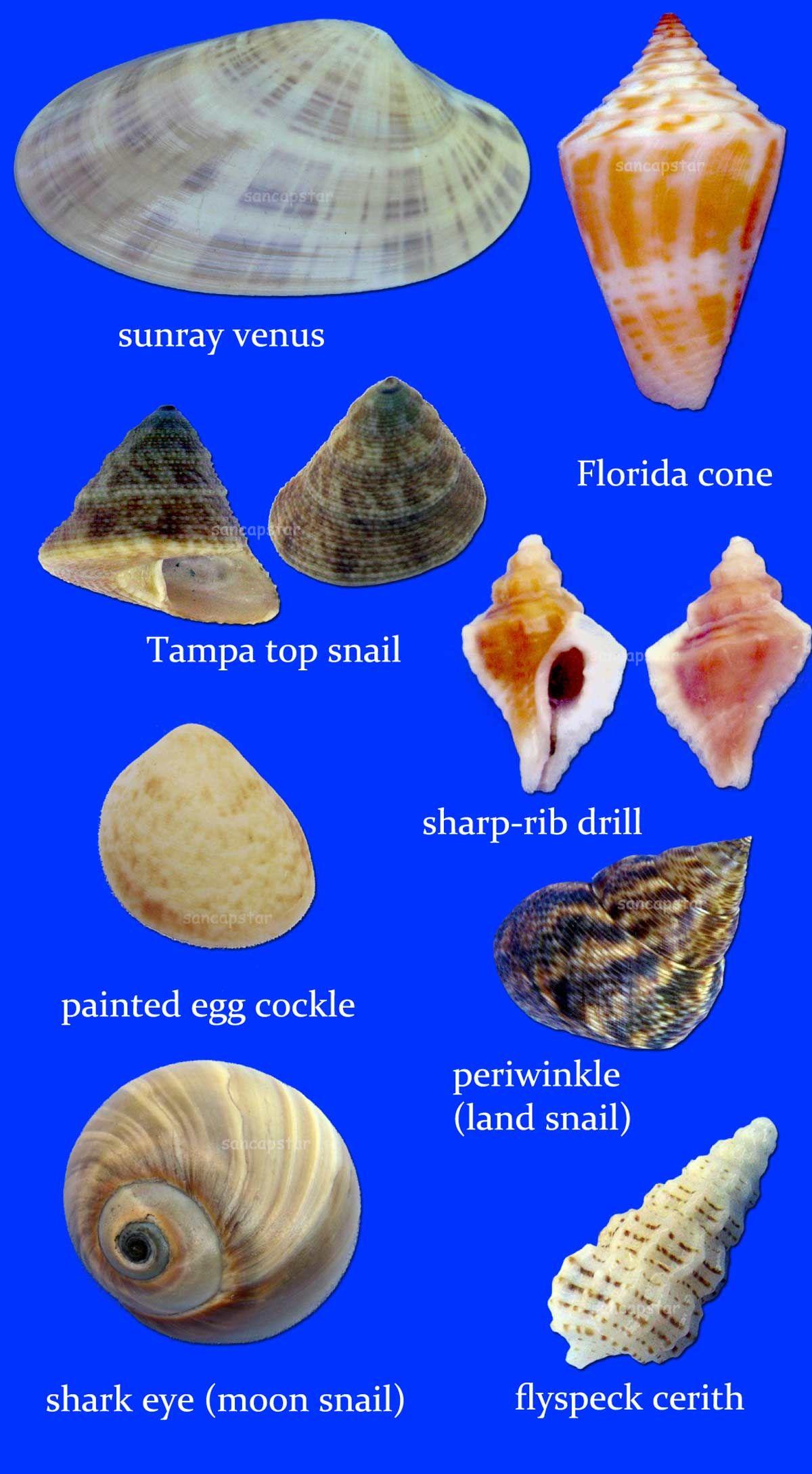 Sancapstar Shell Guide Shells Sanibel Shells Sea Glass Shell
