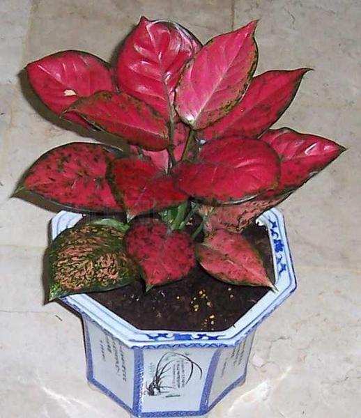 Aglaonema Dud Anjamani Flowers Pinterest Rare plants