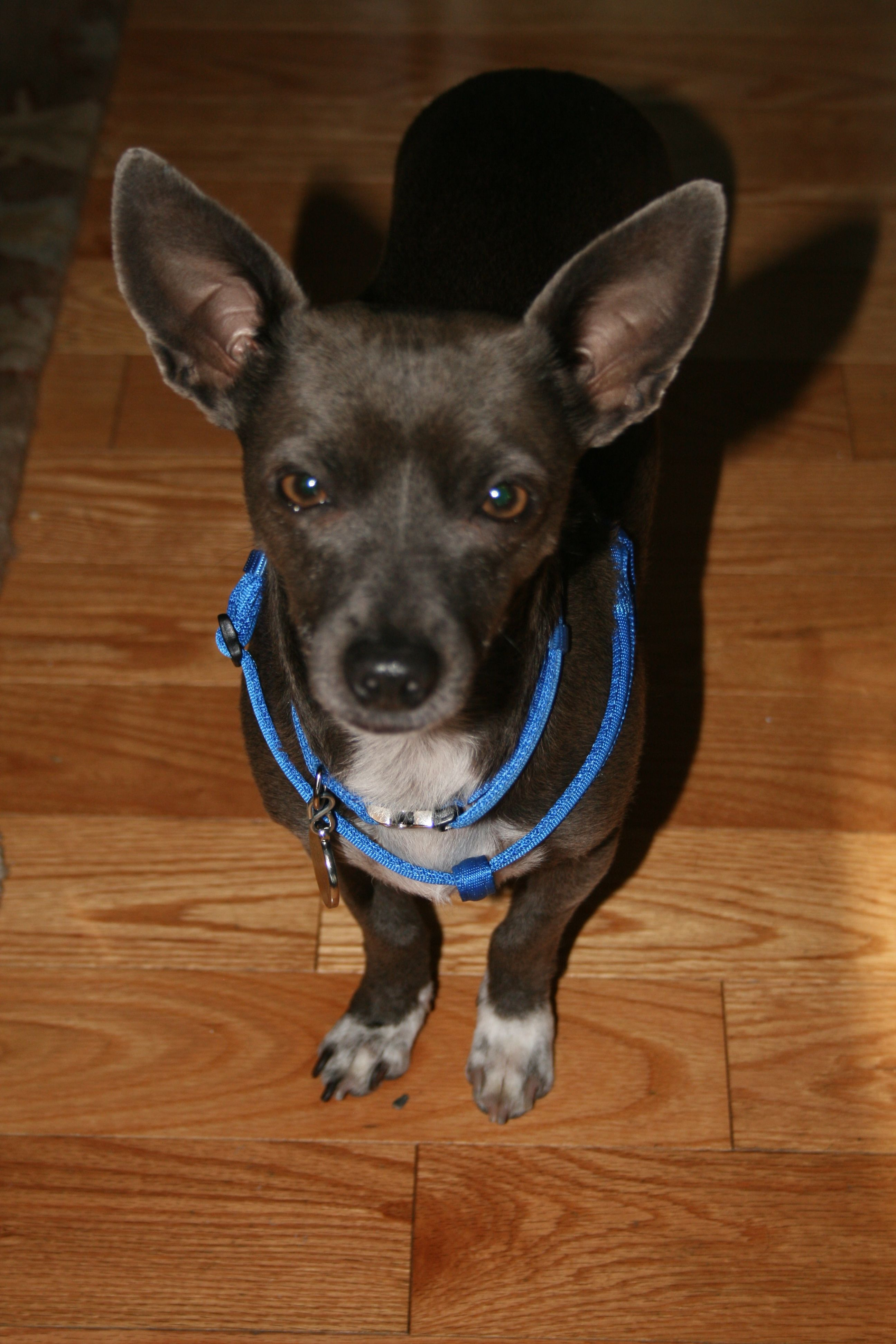 Louie, my rescued Chihuahua mix...he's from California