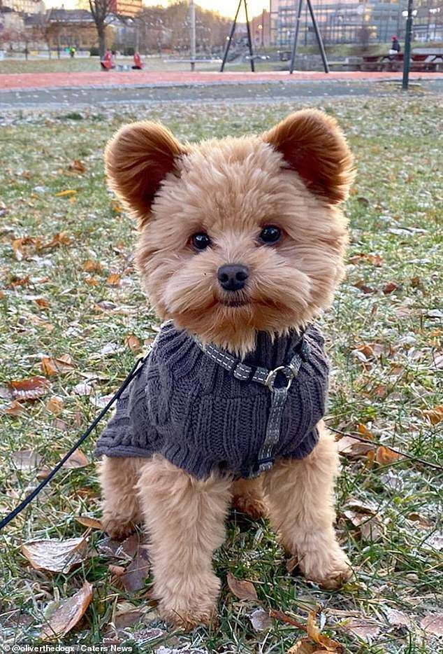 Is this the world's cutest dog? Oliver the puppy is Instagram star for resemblance to a teddy