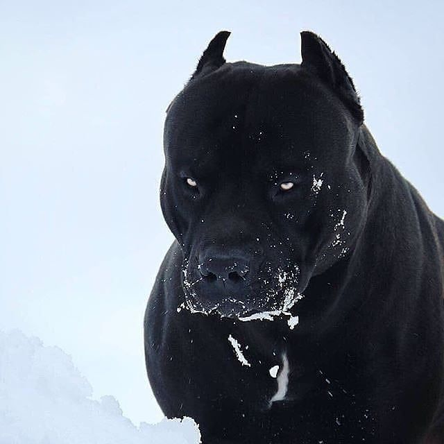 How To Adopt A Dog Pitbull Terrier Schwarze Hunde