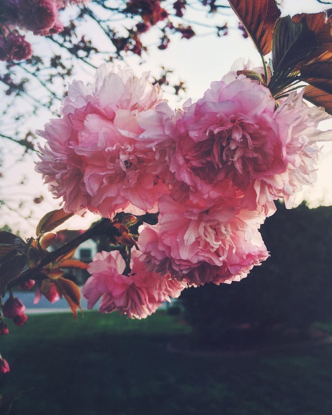 themountainlaurel Hearth and home, Flowers, Rose