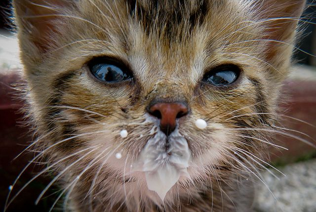 kitten with milk on its face 子猫, 可愛い猫