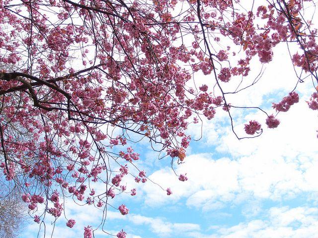Cherry Blossoms Oppenheimer Park Cherry Blossom Festival Cherry Blossom Blossom