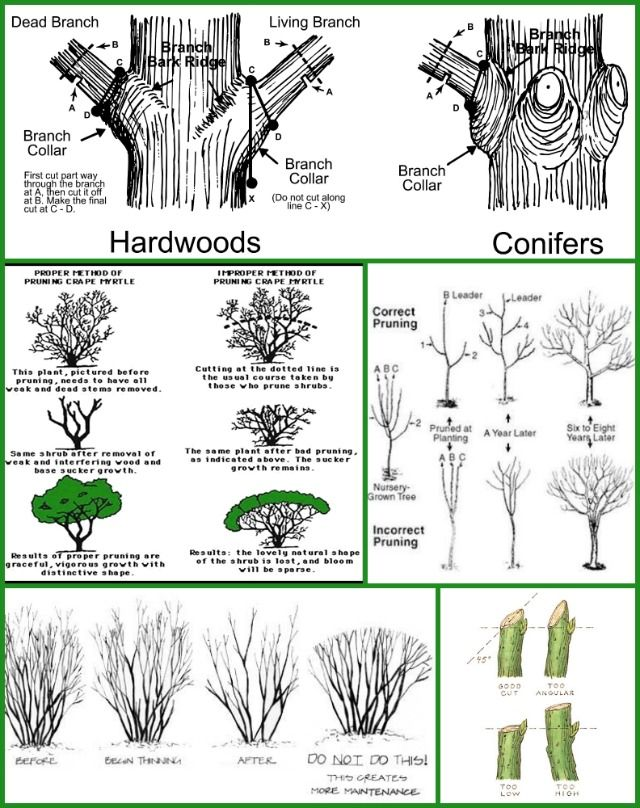 Tree And Shrub Pruning Guide Fairview Greenhouses And Garden Center Trees And Shrubs Pruning Fruit Trees Growing Fruit Trees