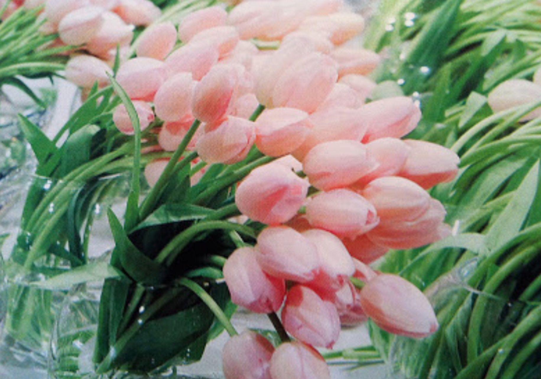 pale pink tulips - grandiflora celebrations