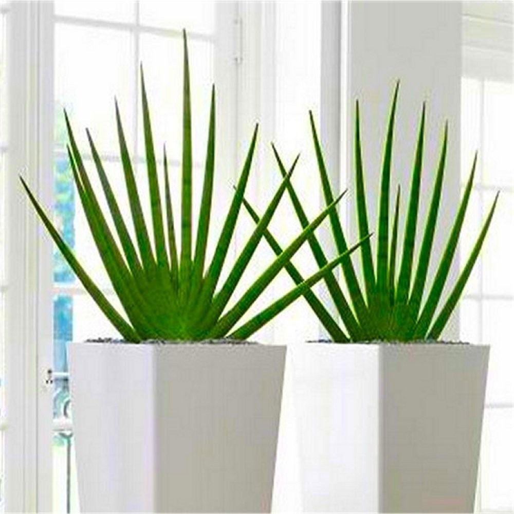 Contemporary Indoor Plants pair of large sansevieria cylindrica fans - contemporary indoor