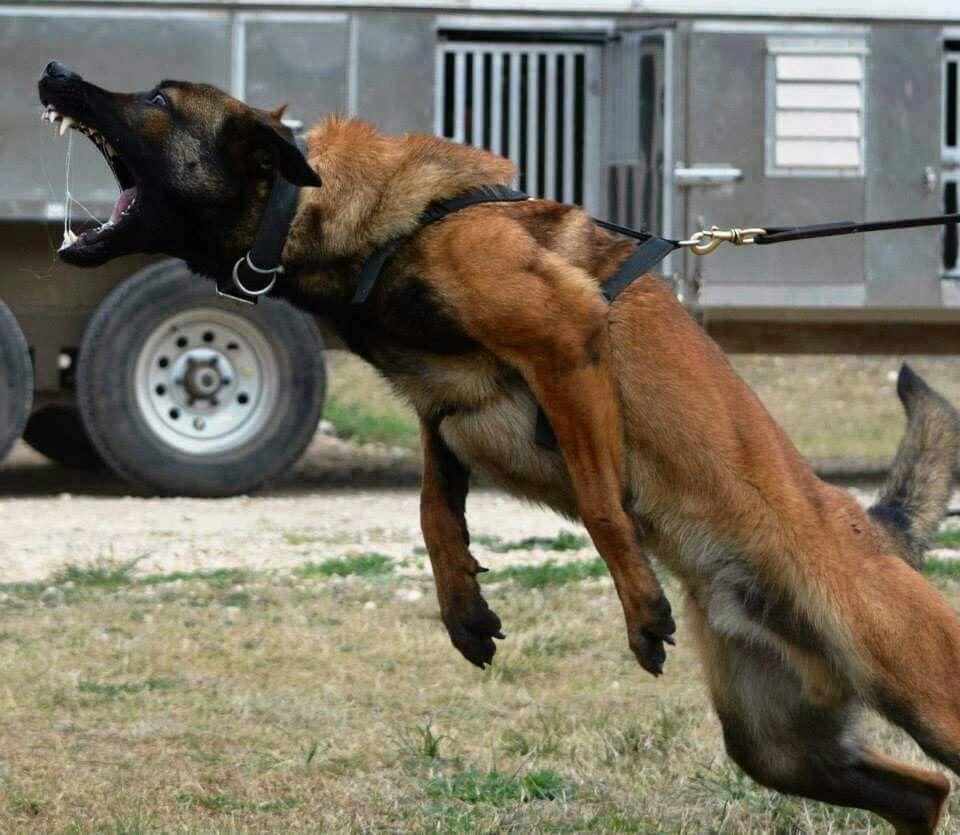 Belgian Malinois Vs German Shepherd Which Dog Is Right For You Belgian Malinois Malinois Malinois Dog