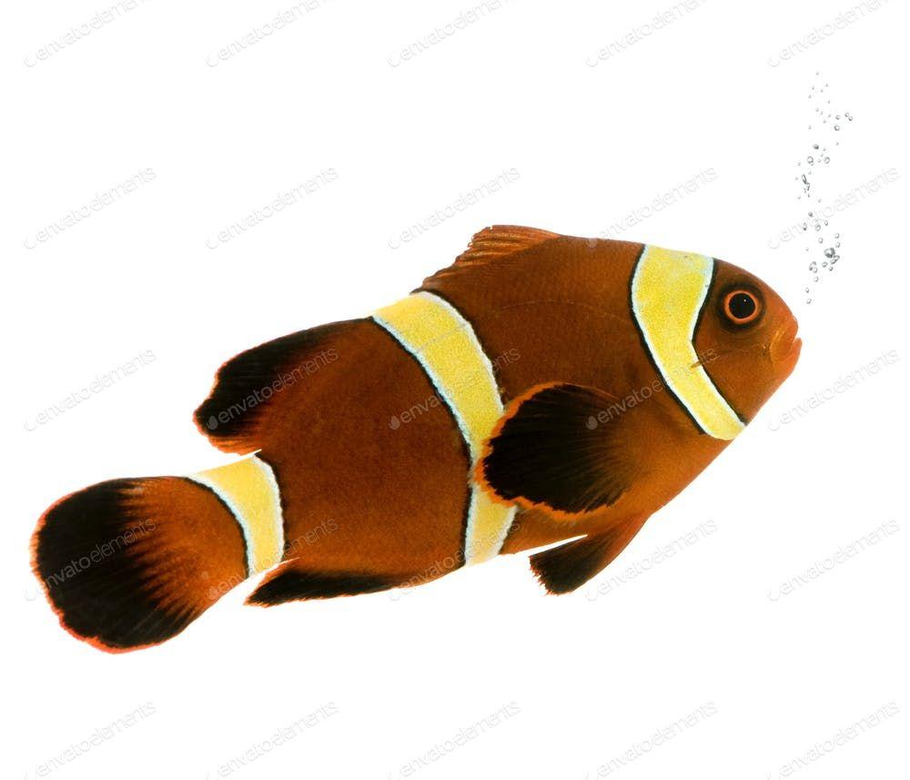 Gold Stripe Maroon Clownfish Premnas Biaculeatus Photo By Lifeonwhite On Envato Elements Gold Stripes Maroon Clown Fish