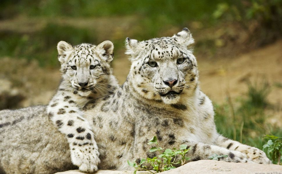 Snow Leopard Mother And Cub HD Wallpaper