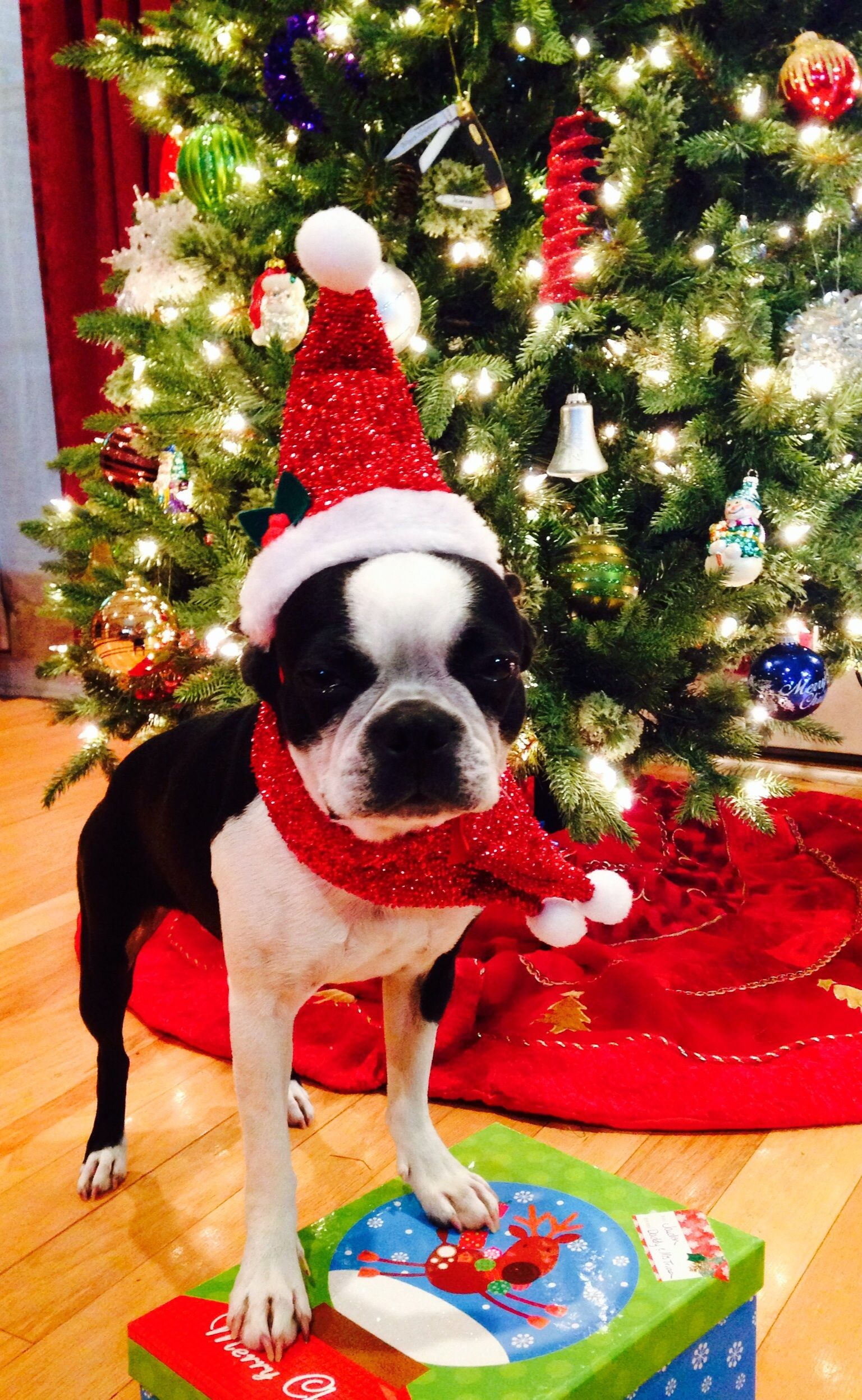Where S The Christmas Cookies Dogs Pets Bostonterriers