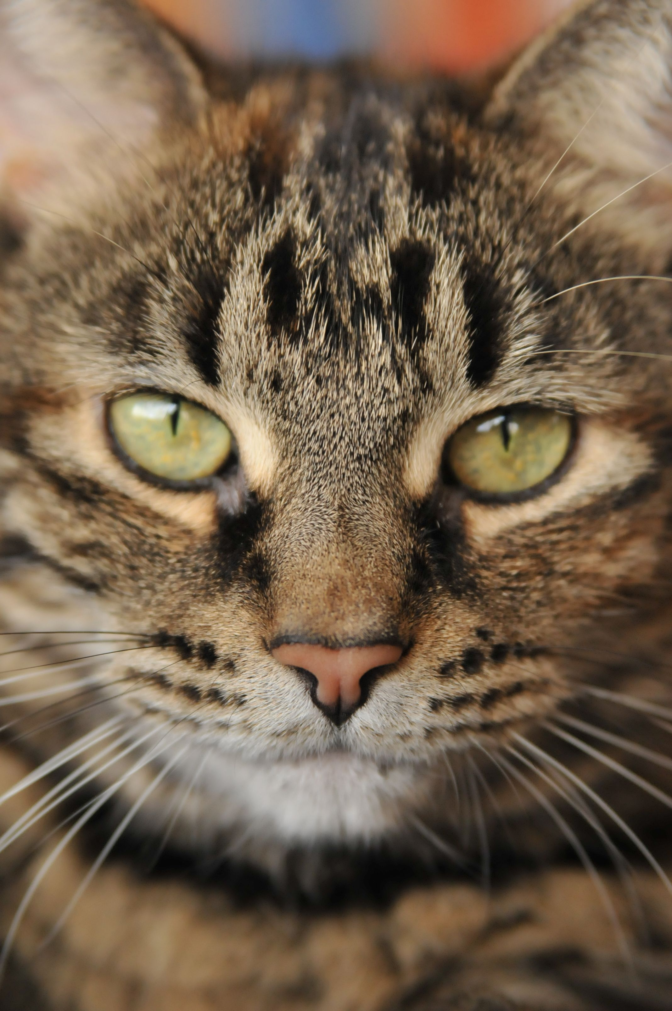 The Bengal is a hybrid breed of domestic cat. Abyssinian
