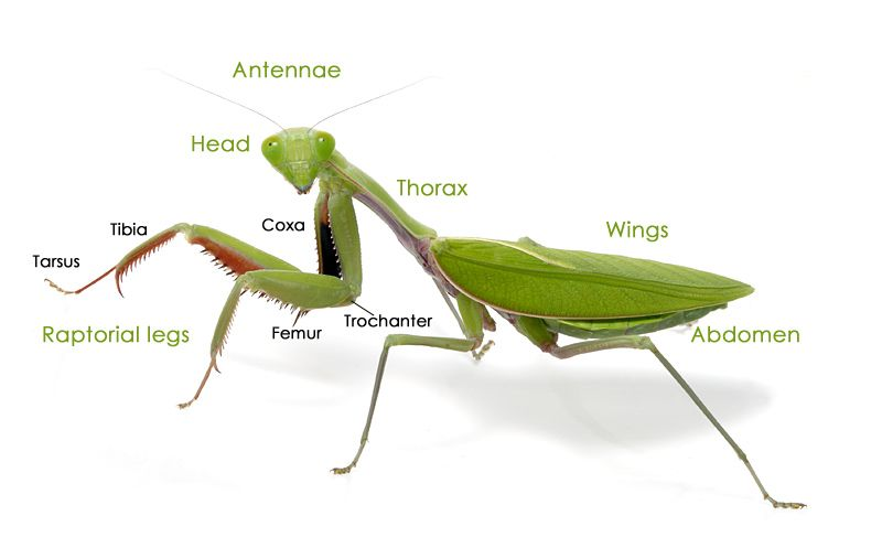 Mantis Anatomy Praying Mantis Pinterest Anatomy Praying