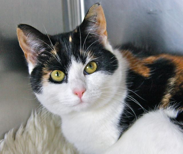Idea by Dee Ann Soderstrom on Calico Cats Calico cat