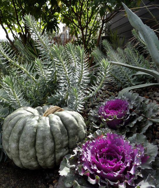 perigo jardim: O Ornamental Repolho e couve Desafio, em meu jardim