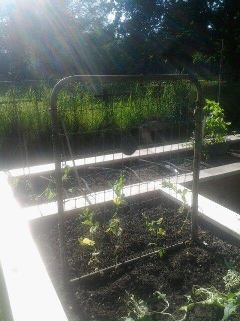 Repurposing A Chain Link Gate As A Trellis For Peas