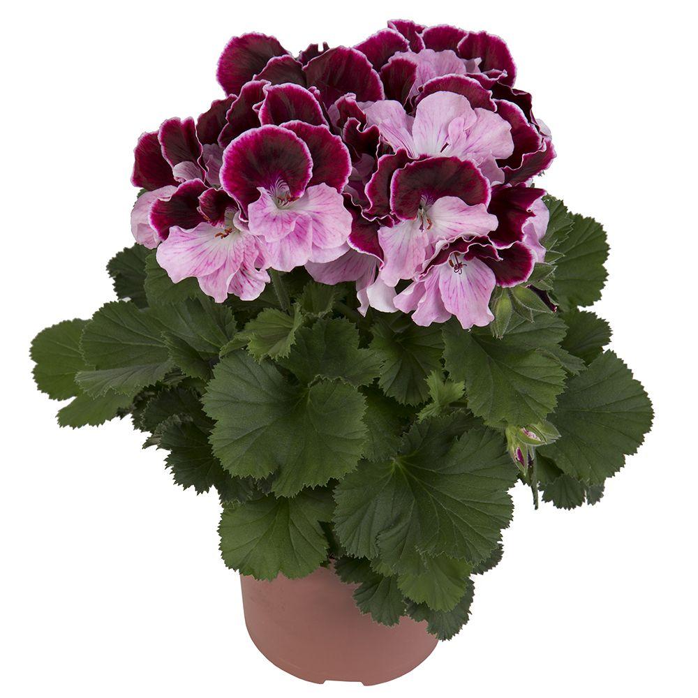 Elegance jeanette franse geranium edelgeranie regal for Geranium d interieur