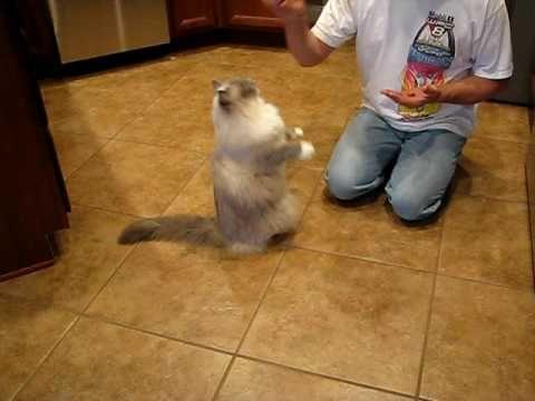 Ragdoll Cat Tricks Performance - YouTube