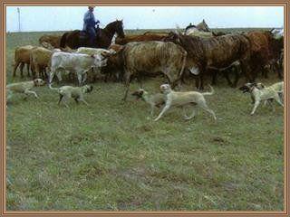 blackmouth cur cow dogs | Blackmouth Cur 2 työssä työssä2