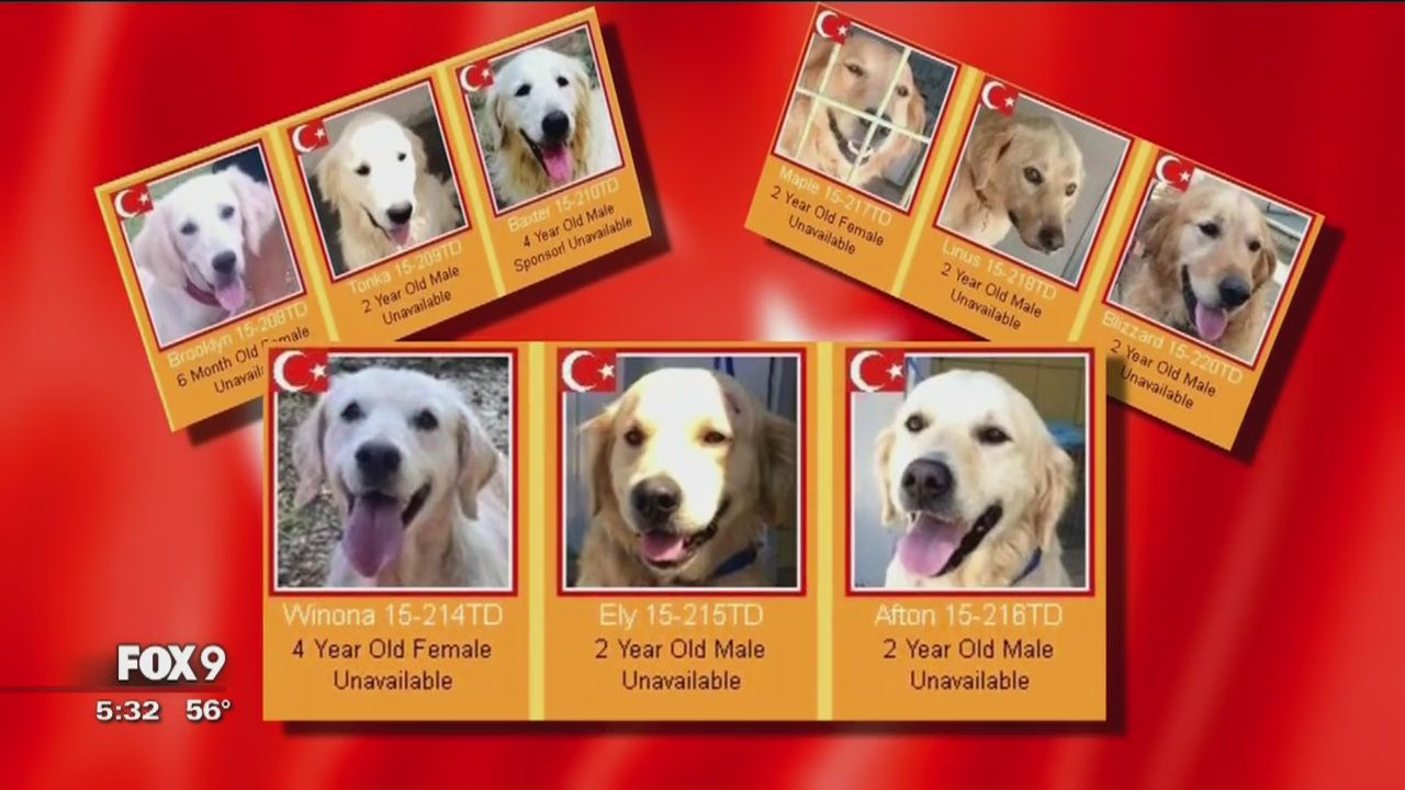 Pin By Small Paw On Dog News Puppys News Golden