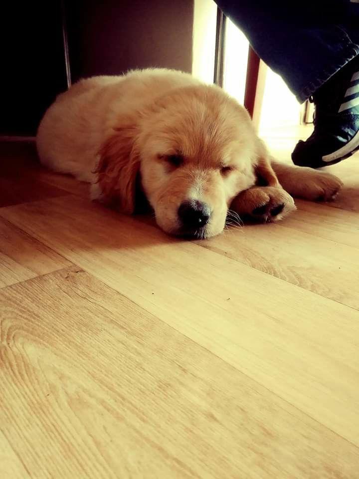 #Golden retriever #puppy