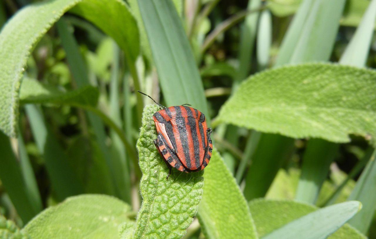 Graphosoma lineatum italicum (Minstrel Bug)