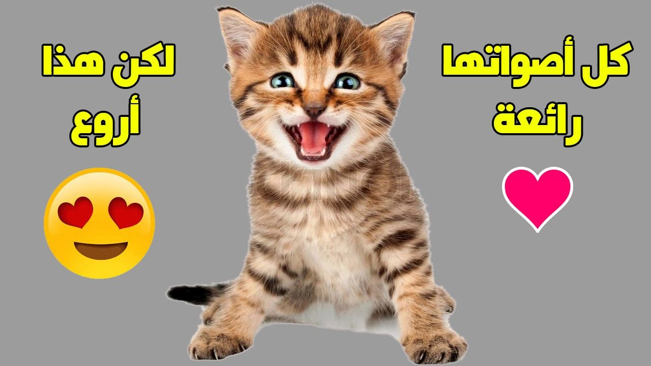 خرخرة القطط من الأصوات المميزة للقطط وهي تفلعلها لترسل لنا مجموعة من الرسائل Cat Purr Cats Purring