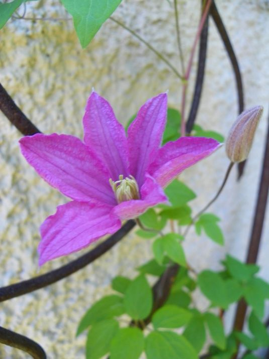 """Comtesse du Bouchaud"" clematis will grow in full shade"