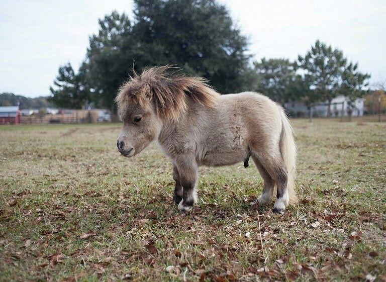 一只患有罕见矮小症的小马在主人的农场上,美国 USA 乔治亚州 Georgia。这只小马刚满5个月大,只有20英寸高(约0.5米)。