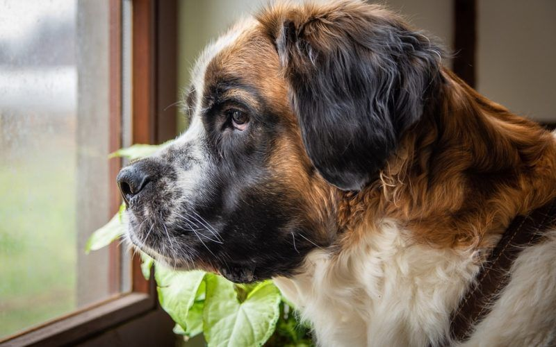 Hemangiosarcoma In Dogs A Helpful Guide Dog Names Italian Dogs