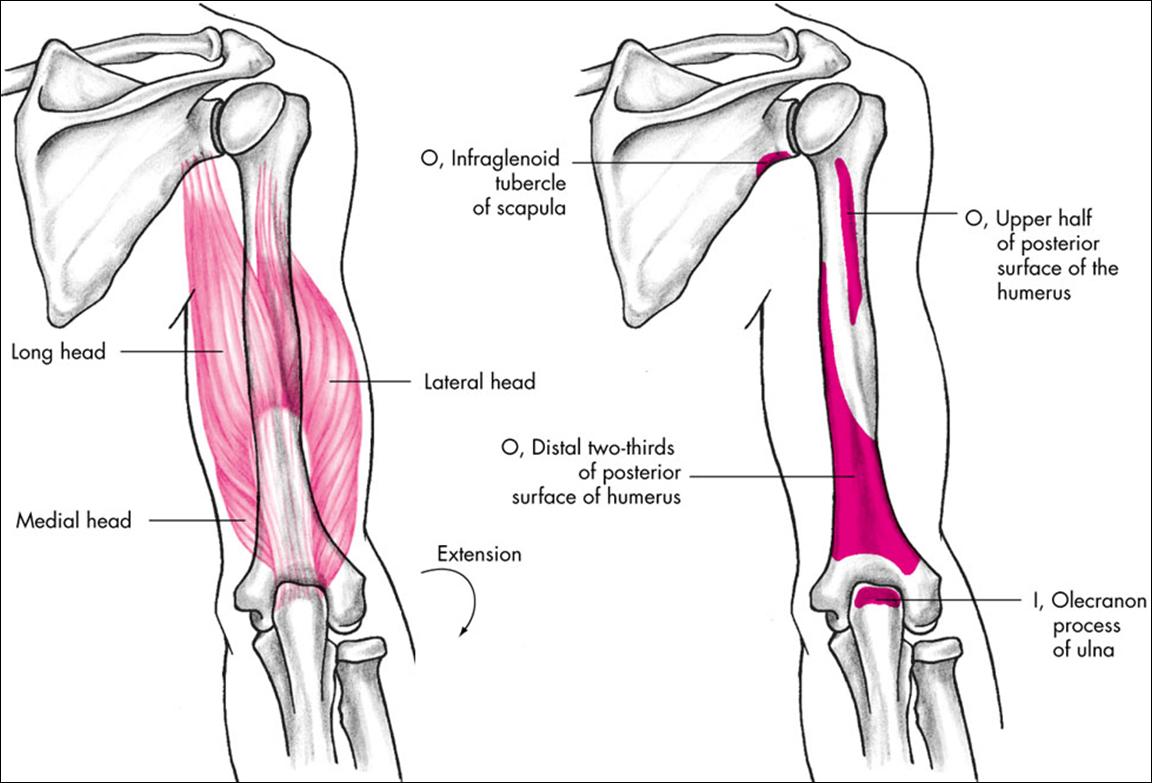 Triceps Insertion Buscar Con Google Human Anatomy Pinterest