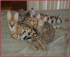 Savannah Cats For Sale Bengal Cats Kittens For Sale Savannahs Hybrid Cats Breeder Spotted Hybrid Cat Bengal Cat Kitten Bengal Cat