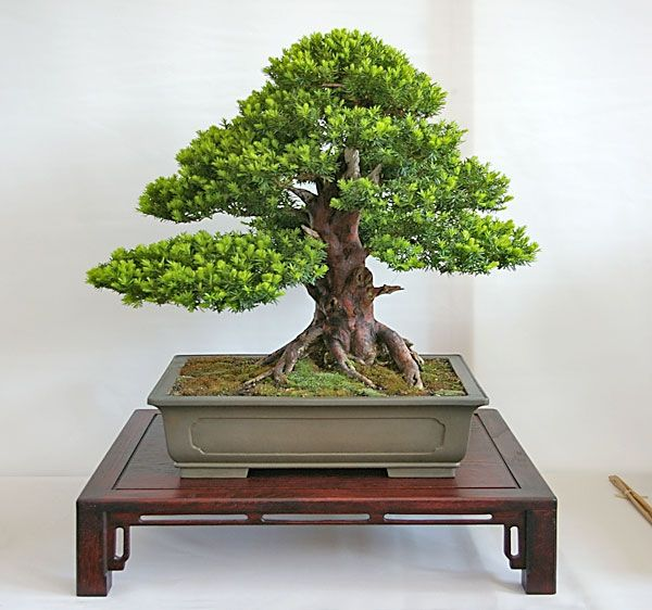bonsai taxus eibe bilder bonsai bonsai baum und bonsai pflanzen. Black Bedroom Furniture Sets. Home Design Ideas