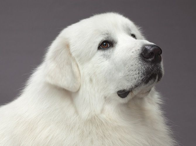 My Family Dog As I Was Growing Up Was A Great Pyrenees What