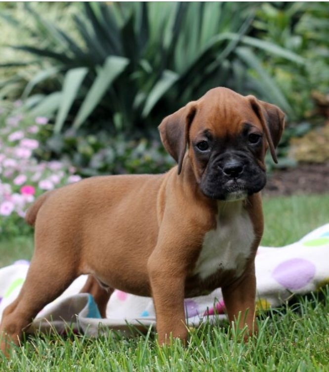 One Direction Visuals Boxer puppies, Boxer puppies for