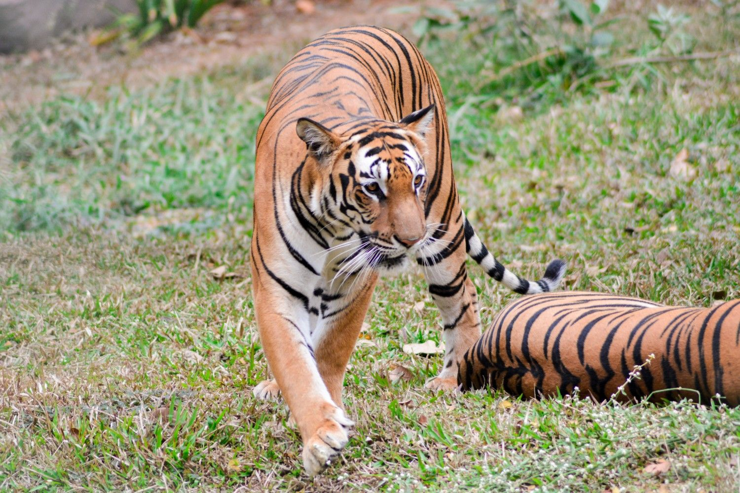 Tiger photography by me save tiger My Photography Pinterest