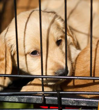 Crate Training Your Labrador Puppy The Labrador Site In 2020 Crate Training Puppy Puppy Training Labrador Puppy