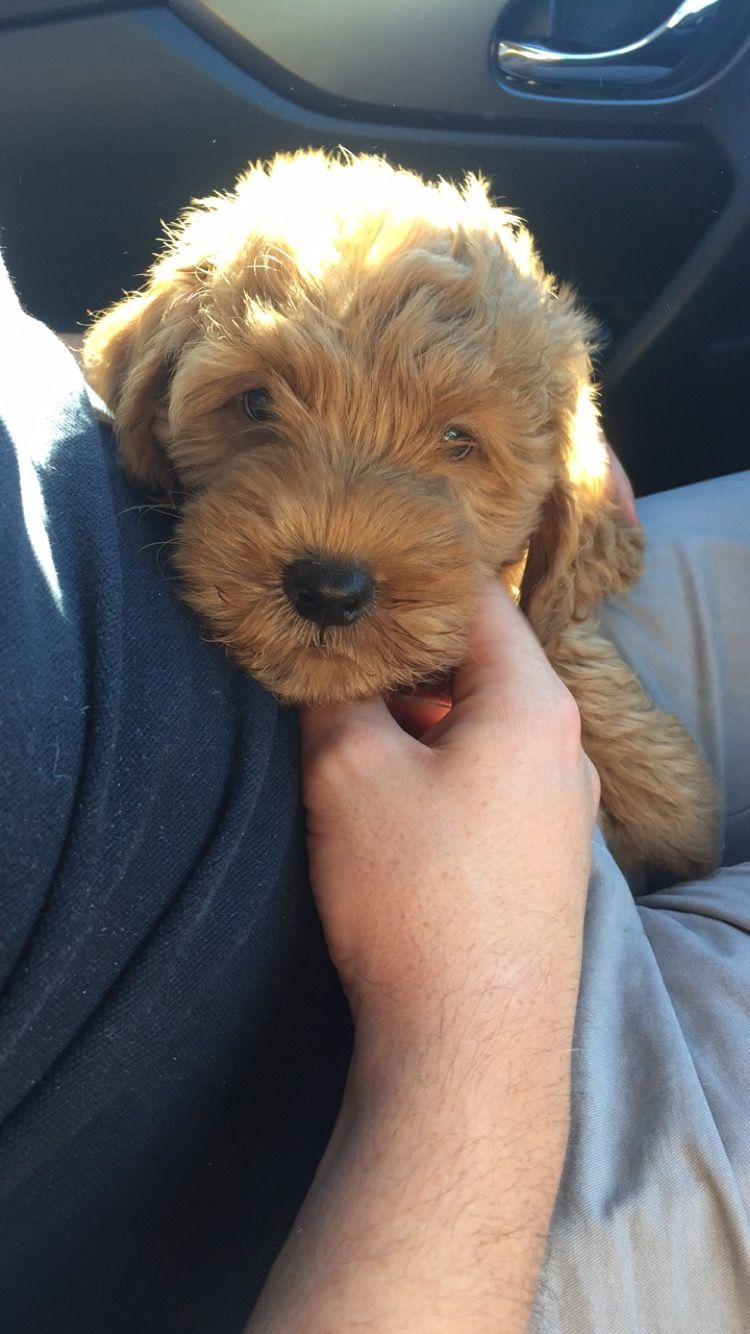 Renees teddy bear puppies wisconsin