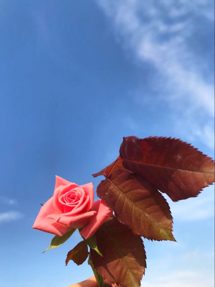 ورد غيوم Rose Flowers Plants