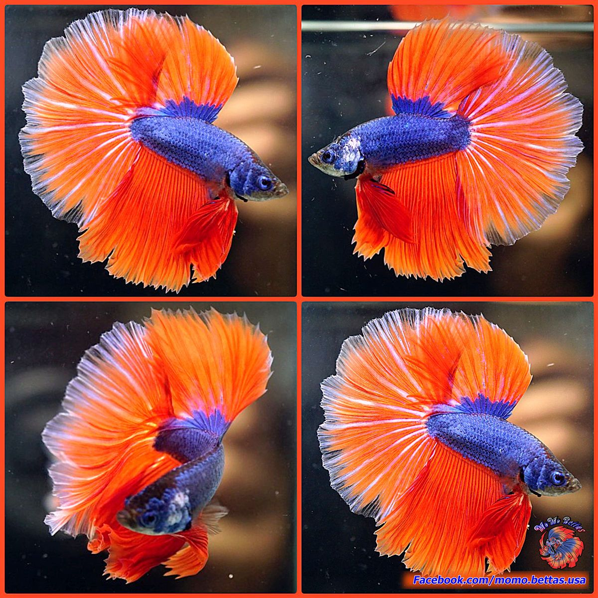 Live Betta Fish Male Azure Blue Tangerine Rosetail Halfmoon HM #937 ...