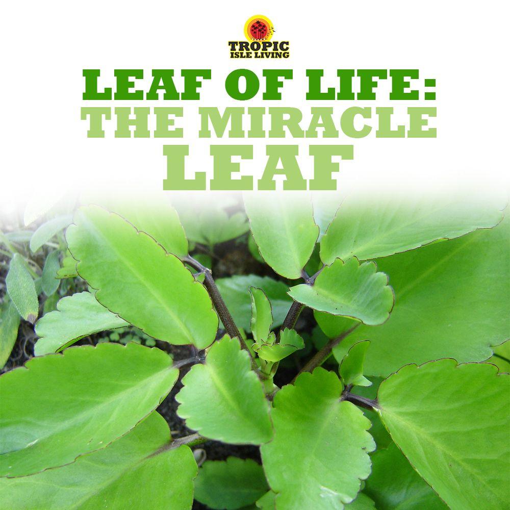 Leaf Of Life: The Miracle Leaf | Health | Plant leaves