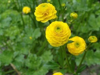 Jaskier Ostry Byliny Baza Roslin Meadow Flowers Flowers Plants