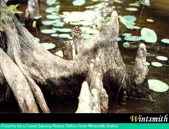 Cypress knees and water lilies at Lake Waccamaw, NC, part of the Green Swamp system.