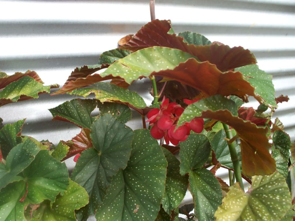 Begonia X Corallina Angel Wing Begonia World Of Flowering Plants Planting Flowers Begonia Plants