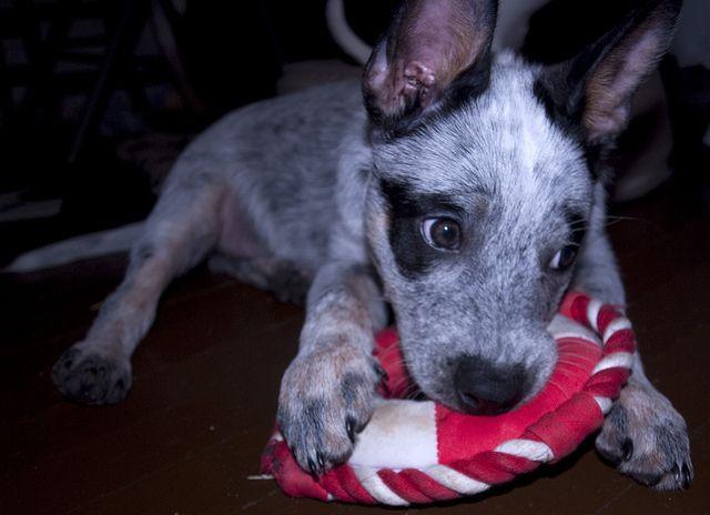 My little Australian Cattle Dog- Blue!