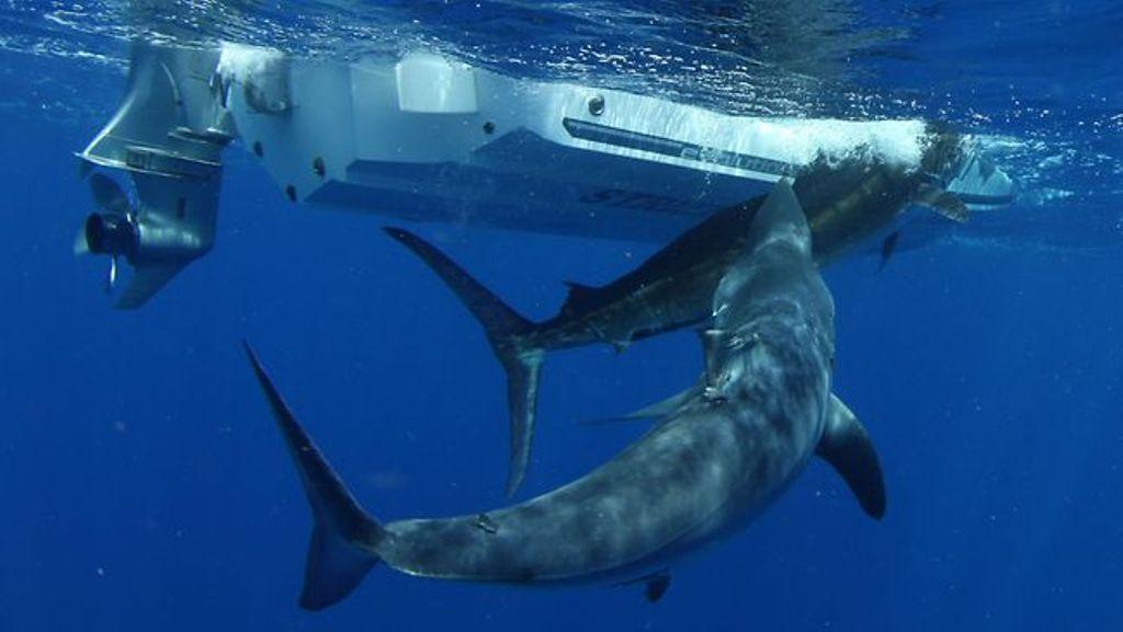 Uno Squalo Mako Attacca Un Marlin Striato Poco Prima