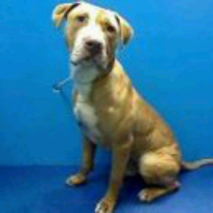 Will Be Killed Make A Pledge On Fb If You Can T Foster Adopt Brooklyn Ny Mickey Male 3 Years Dies In A M See Ur Dog Adoption Dog Sounds Animal Help