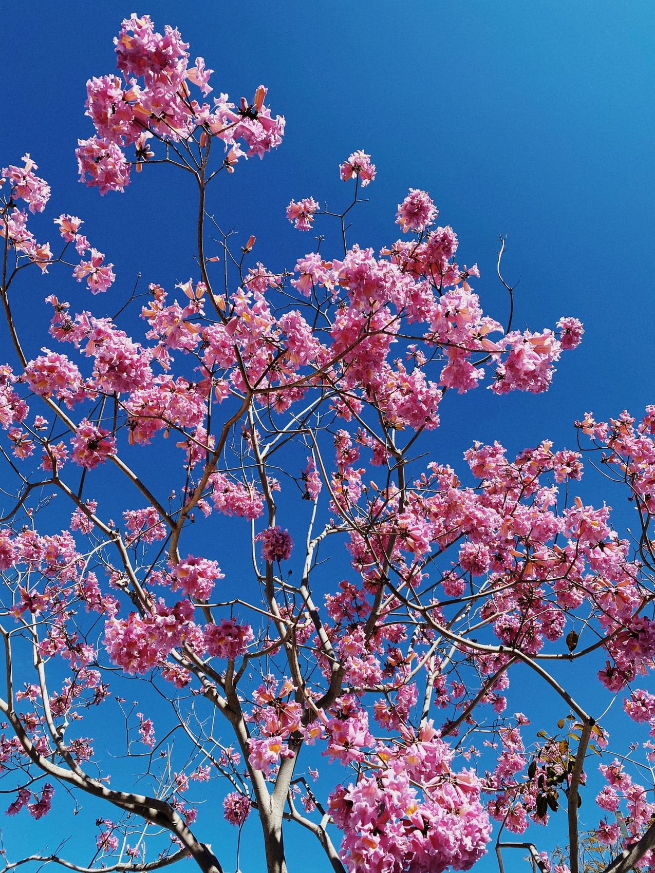 Pink Cherry Blossom Tree Under Blue Sky During Daytime Photo Free Image On Unsplash In 2021 Wallpaper Pink And Blue Blue Flower Wallpaper Pink Blossom Tree